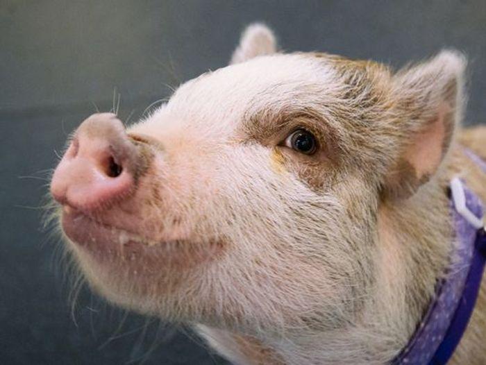 Amy the agile pig