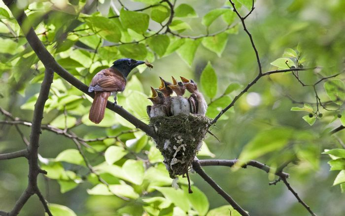 An Asian paradise flycatcher feeds its chicks.