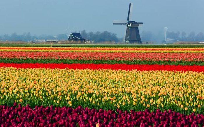 A tulip field in full bloom in Holland