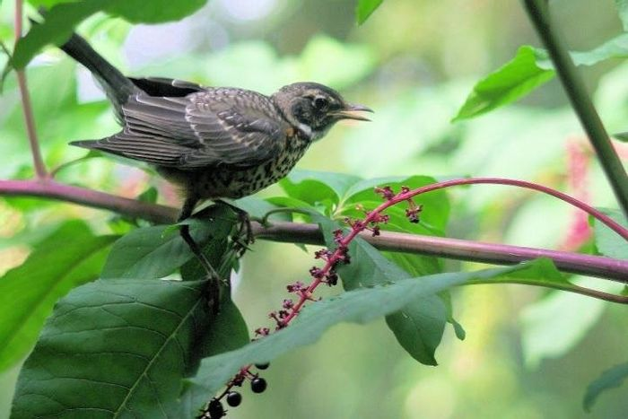 A robin munches on pokeweed berries in a Chicago backyard