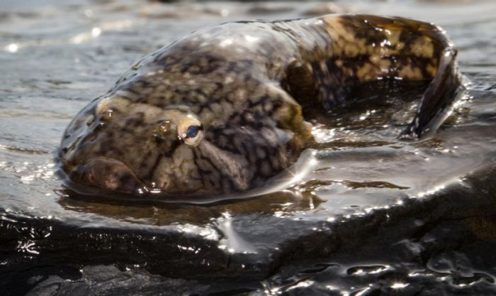 The Northern Clingfish found in Puget Sound, could have important applications in medical science