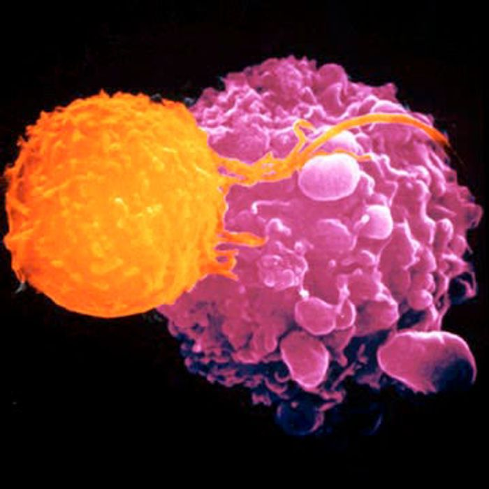 Regulatory T cells are responsible for making sure other lymphocytes don't attack the body's own cells.