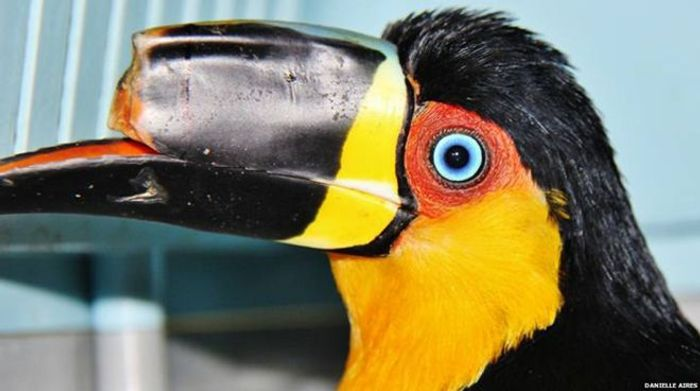 Tieta didn't have a functioning top beak before the surgery.