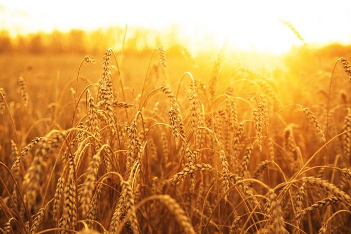Mapping the wheat genome can help to combat hunger.