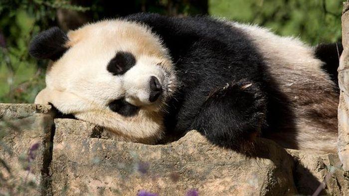 Mei Xiang laying around.