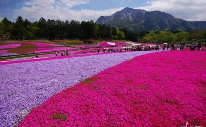 Stunning phlox in bloom in Japan for Golden Week