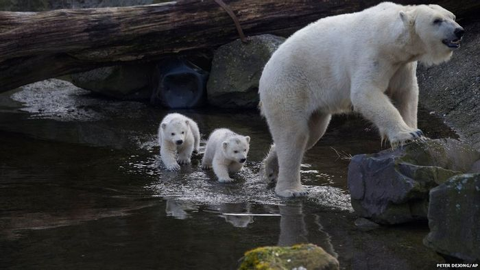 A momma polar bear takes her cubs on a stroll at there home in the Ouwehands Zoo in Rhenen, Netherlands