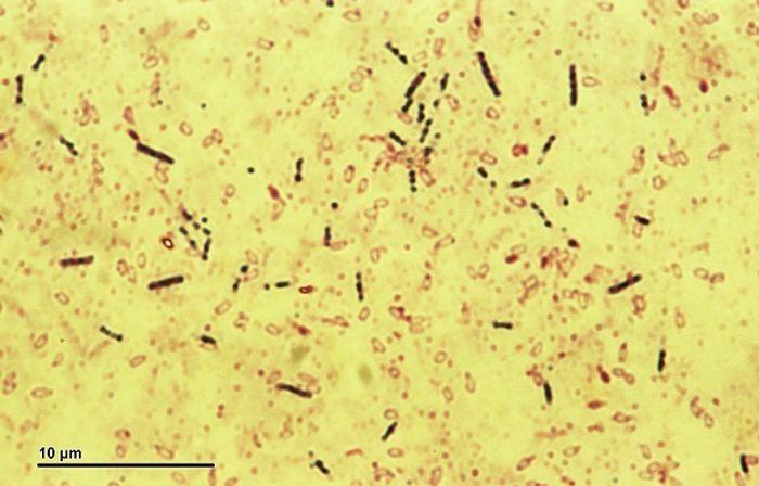 Bacillus subtilis bacteria
