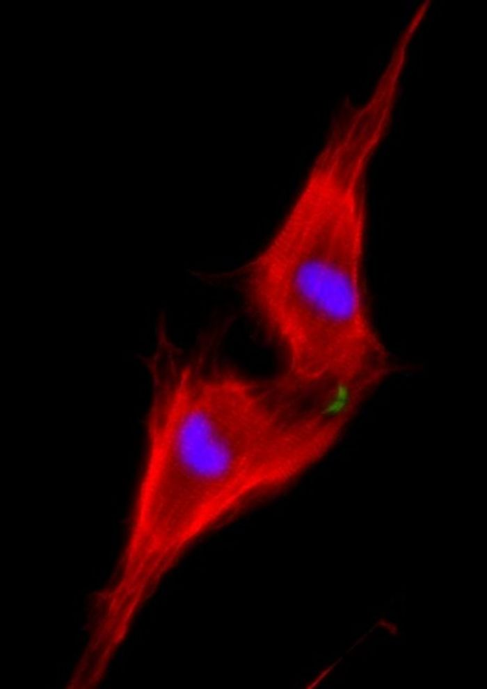 Two neonatal cardiomyocytes (stained red) undergoing cell division after treatment with NRG1 are shown.
