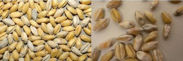 The fugus that causes white grain disease in wheat can survive in cereal residues and can live there for longer than 2 years.