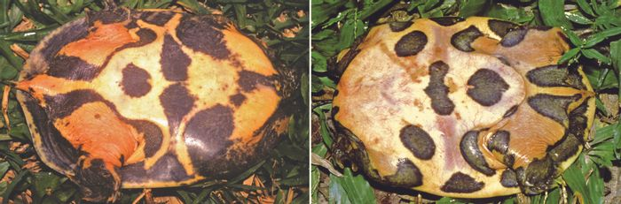 The distinctive spotting on the bottom of the turtle's shell is shown.