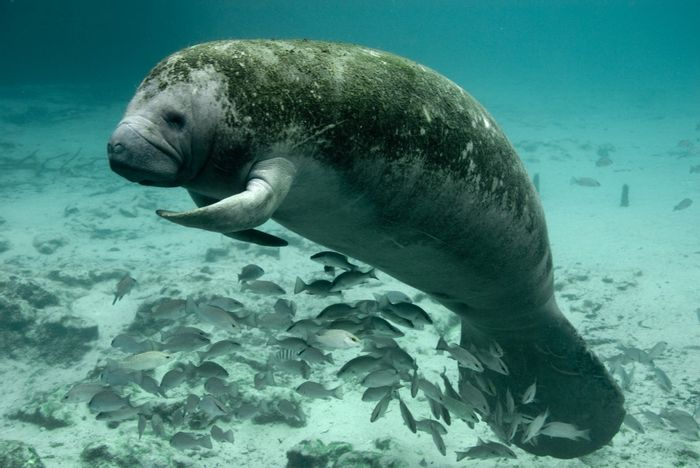 Manatee numbers off the coast of Florida are growing.
