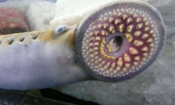 A lamprey, in all its glory. Photo: Phys.org