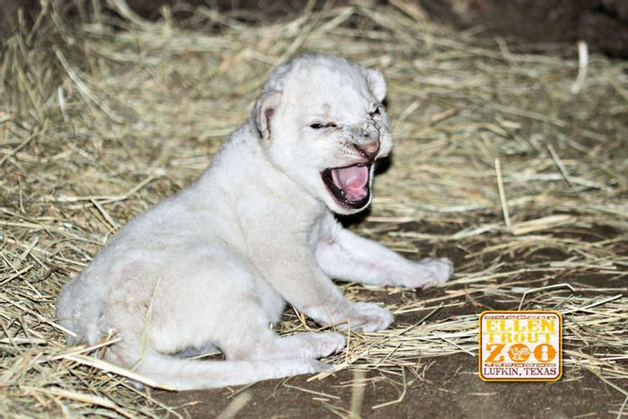An ultra-rare white African lion was born at Ellen Trout Zoo in Lufkin, Texas.