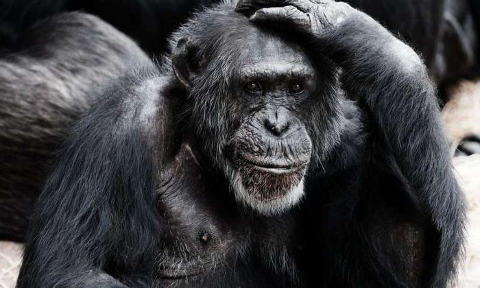 Chimpanzees both understand and know how to convey distance, a new study has found.