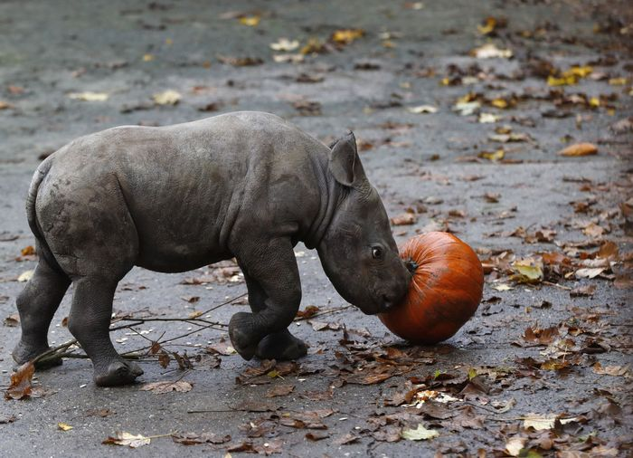 Meet the baby Eastern black rhino calf that just landed at a Czech zoo.