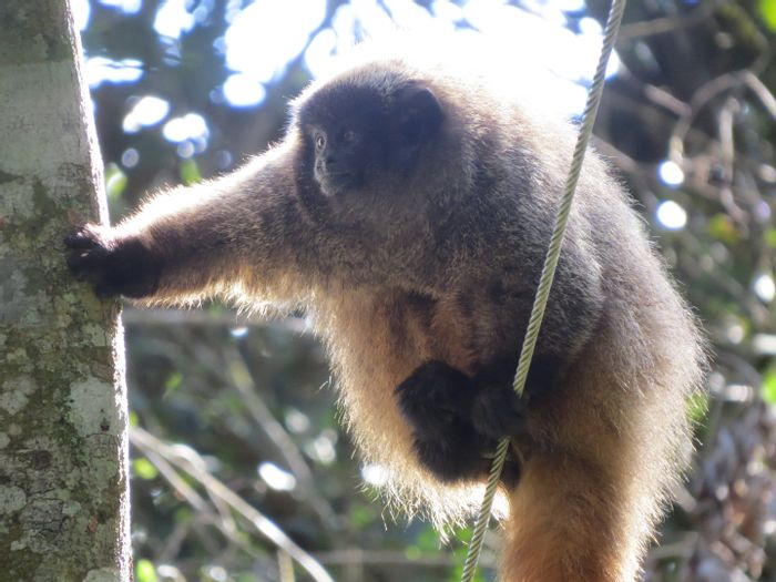 A male Titi monkey.