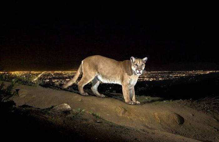 P-22, a mountain lion well-known around the Griffith Park area, is thought to be behind the vicious mauling.