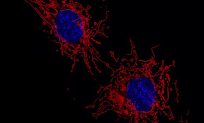 Fluorescent microscopy image of the mitochondria (red) and cell nucleus (blue) of two MEF cells. / Adapted from an image by: Institute of Molecular Medicine I, University of Düsseldorf