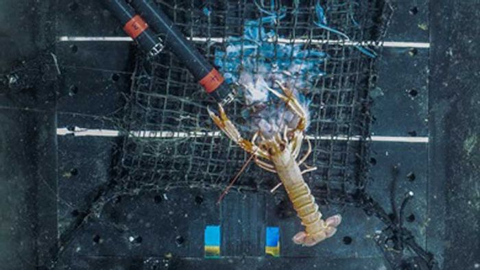 A Norway Lobster begins snacking on a helmet jellyfish carcass.