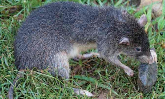 Giant rat discovered on Manus Island.