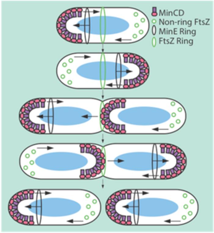 The Min system inhibits FtsZ ring formation.