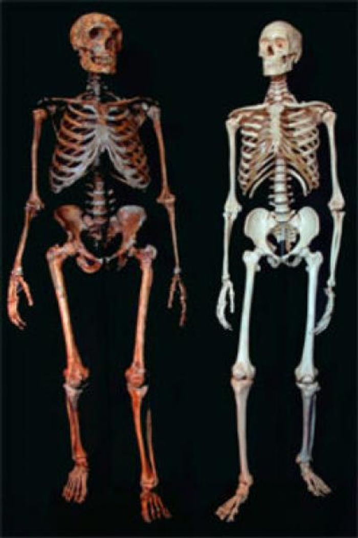 This is a skeleton of a Neanderthal (left) and a modern human (right). / Credit: Ian Tattersall
