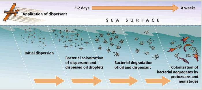 Dispersants are meant to make oil available to microbes.