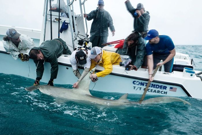 Scientists tether important scientific instruments to a hammerhead shark for observation.