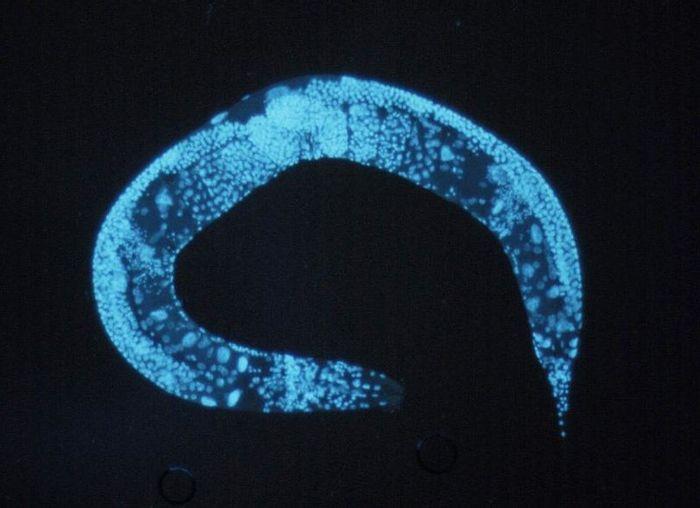 C. elegans / Credit:  National Institutes of Health