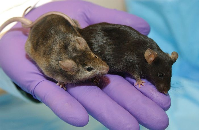 A laboratory mouse in which a gene affecting hair growth has been knocked out (left), is shown next to a normal lab mouse. / Credit: Maggie Bartlett, NHGRI.