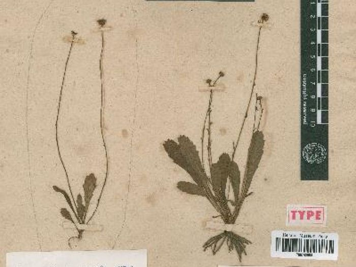 If the preserved daisy samples had survived, they would have looked similar to this preserved specimen.