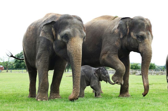 Over the course of several decades, tuskless elephants are becoming the norm, thanks to poaching.