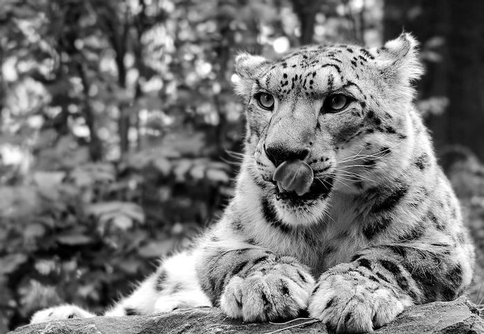 More snow leopards are being killed than originally thought, a new report suggests.