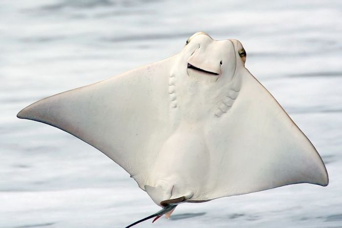 So it turns out that stingrays may actually chew their food, but not in the sense that you're used to when you think about the jaw motions you use while eating.