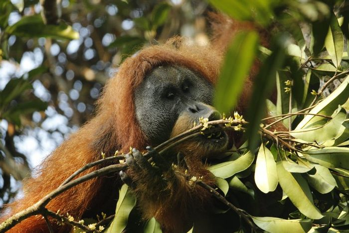 An adult male Tapanuli orangutan is pictured.