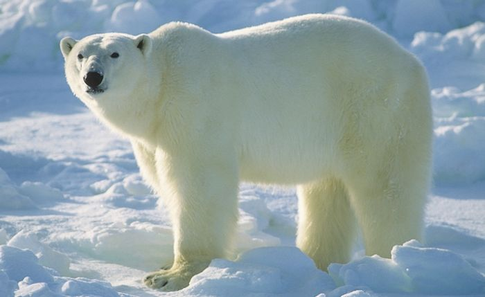 Polar bears are in trouble as Arctic ice continues to thin out.