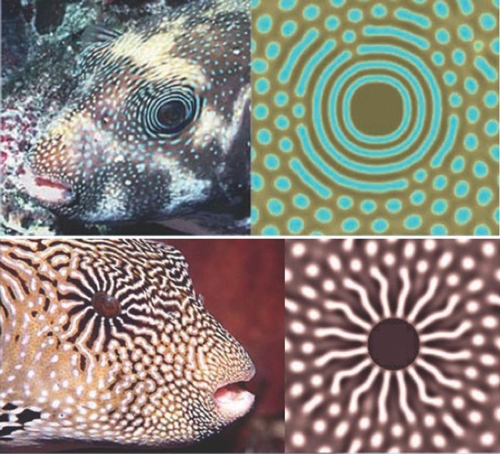 Turing Patterns in Fish. Left: real fish scale pattern; right: computer simulation. (Science)
