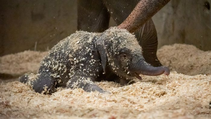 The baby elephant calf that passed away this week at Columbus Zoo.