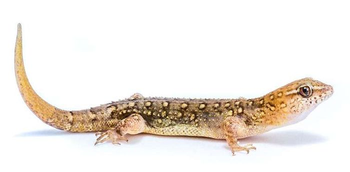 Researchers think this gecko might have evolved larger heads in response to human actions on their environment.