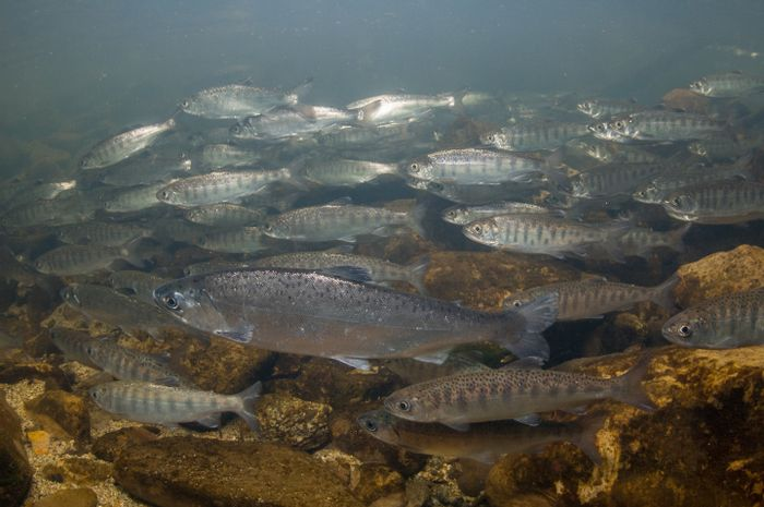 A school of juvenile coho salmon, just like those used in the study.