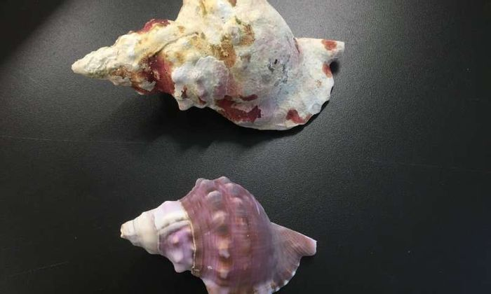This photograph shows the difference between a sea shell from a typical ocean environment (top) compared with one from a more acidic ocean environment (bottom).