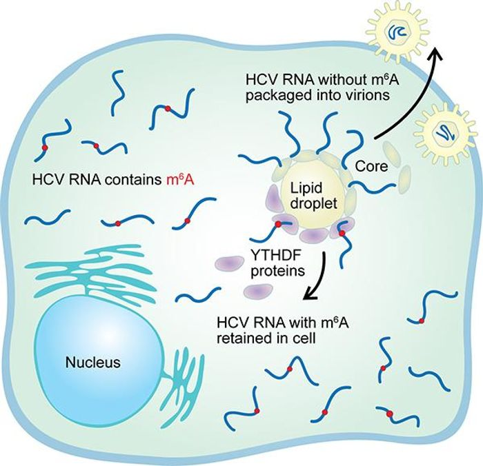A chemical tag on the RNA of the hepatitis C virus called N6-methyladenosine (m6A) has been found to slow the production of new viruses. A protein called YTHDF that binds to m6A is known to congregate around the lipid droplets where viral particles are manufactured, slowing the production of new viruses. /Credit: Duke University