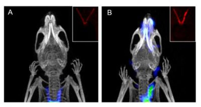 Coronal noninvasive PET/CT scans of (A) healthy and (B) diseased mice with and without ligated carotid arteries respectively.