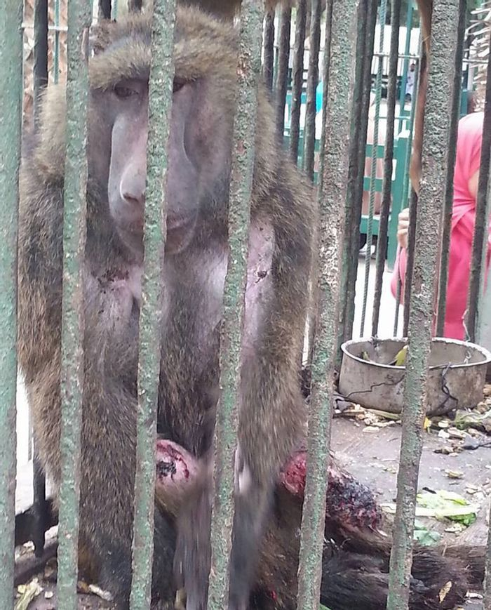 A baboon sits with its mutilated arms and feet after being a reported cannibalism victim.
