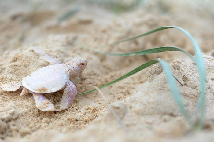 This rare albino green turtle was discovered on an Australian beach.