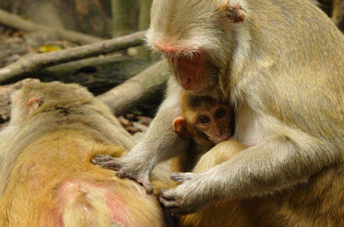 Female bonding can reduce the effects of stress in rhesus monkeys. Source: Lauren Brent, University of Exeter