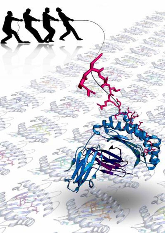 This is a stylized illustration of a peptide epitope extending from the N-terminal end of the HLA-I binding groove. Source: Imaging CoE