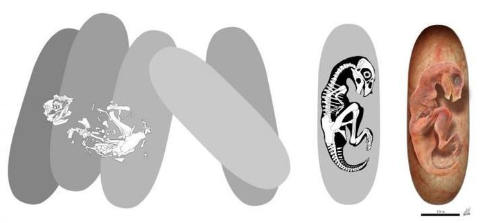 An illustration that depicts how the embryo fossil was discovered.