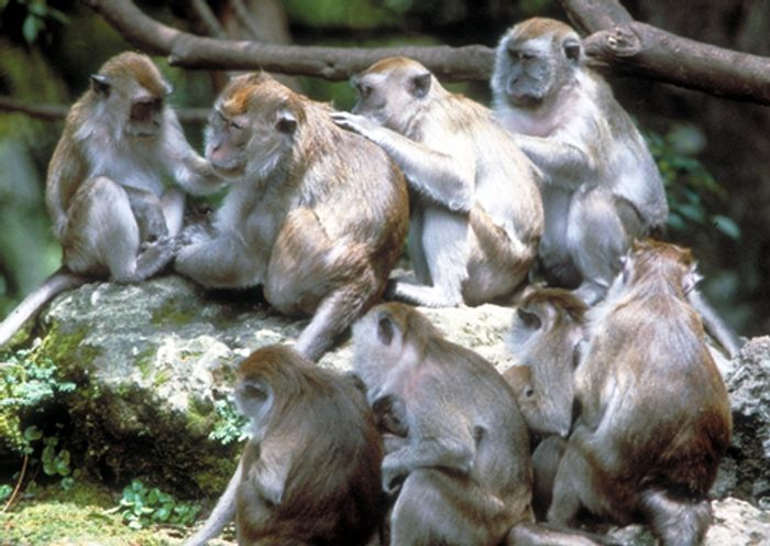 Long-tailed macaques, pictured, use rocks as tools for opening nuts and oysters.